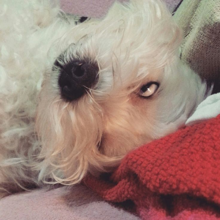 Casper my maltese dog