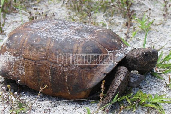 Tortoise Photograph, Metal Art, Gopher Tortoise Picture, Reptile Photo, Animal Photo, Fine Art, Home Decor, Wall Decor, Florida State Park