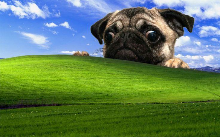 Pug Desktop Backgrounds 4k Cool Desktop Wallpapers Field Wallpaper Pug Wallpaper