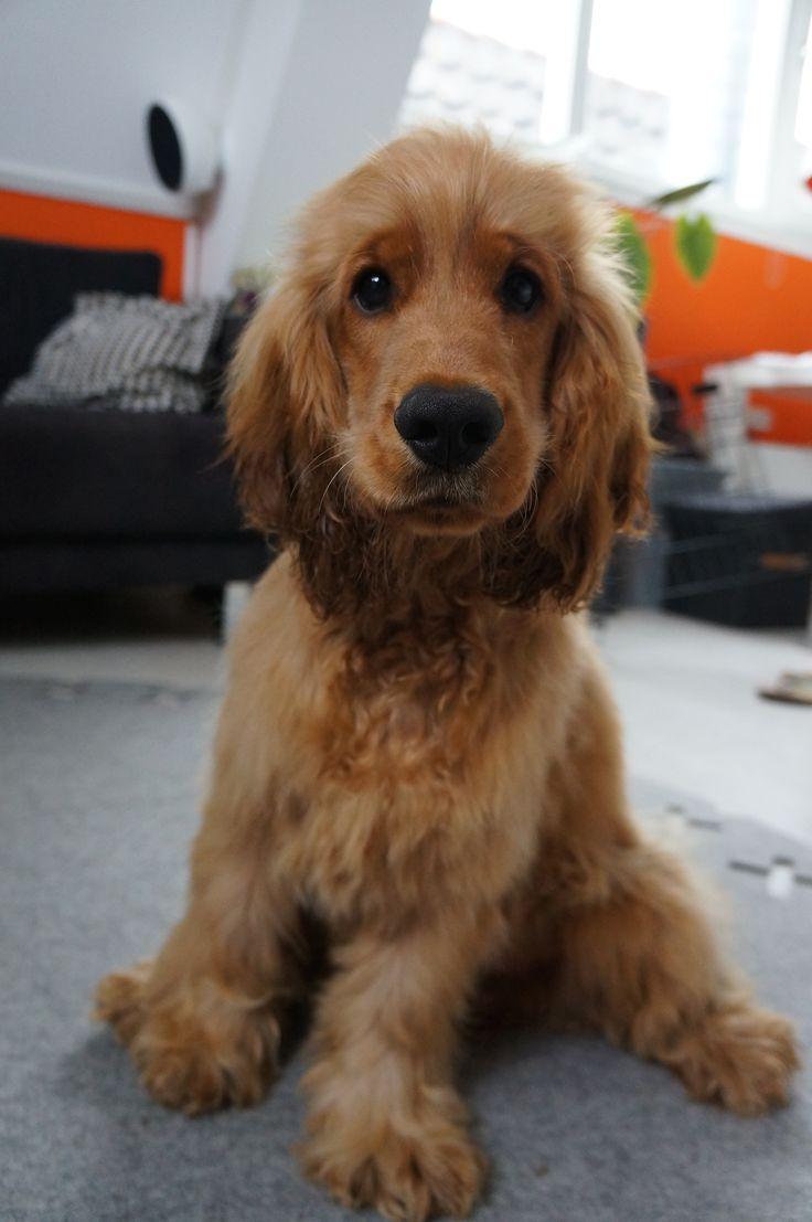 short haired spaniel breeds dog breeds picture dog