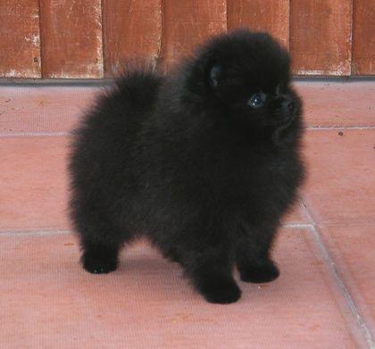 One day I'll have a black  Pomeranian