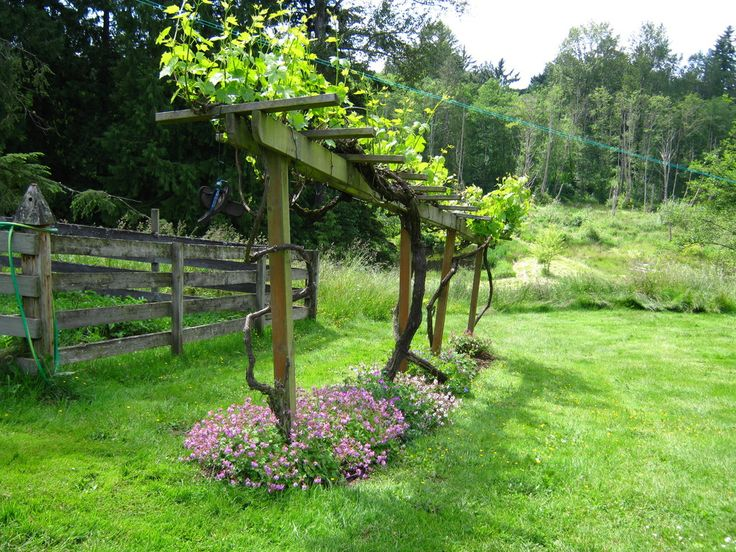 growing berries on a trellis - Google Search