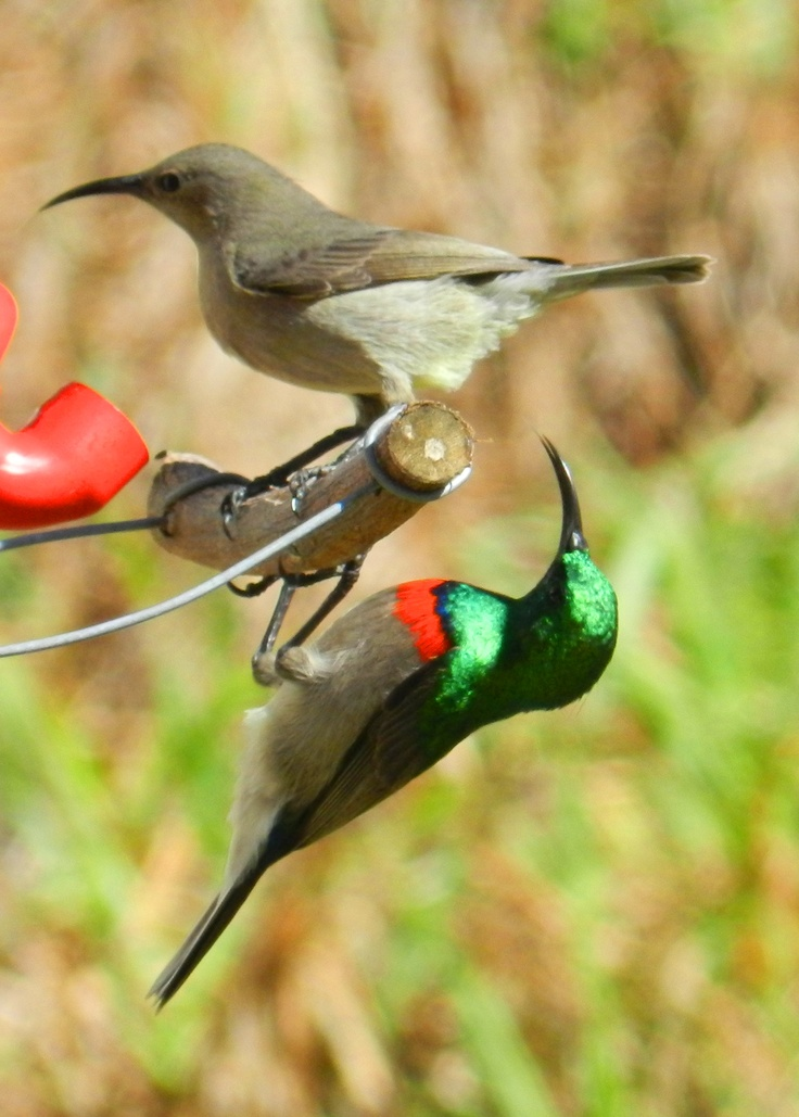 178 best images about Wild birds of South Africa on ...