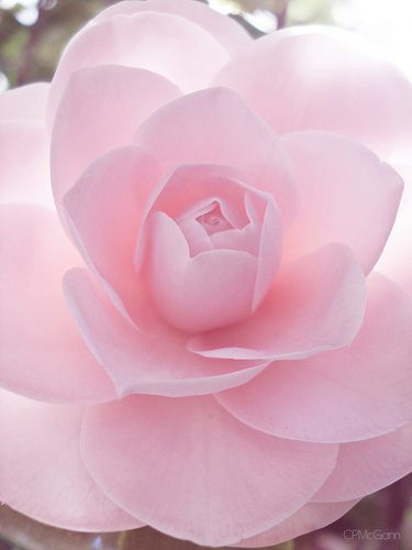 Soft pink camellia.
