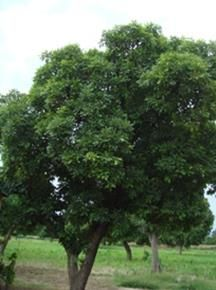 What kinds of trees are planted in Burkina Faso? – Ecosia