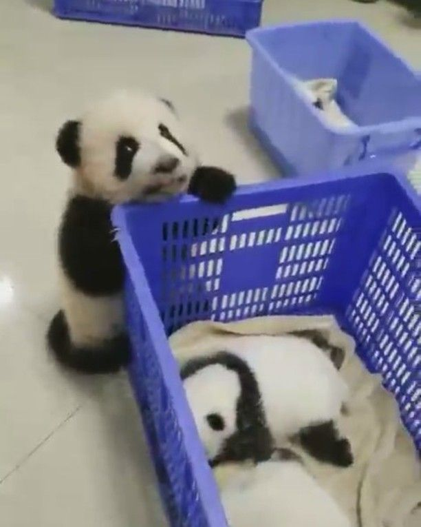 """WEBSTA @panda._.bear_lover """"Nanny, help me. I'd like to see my younger brother and sister!"""" * Video by Weibo ©梅梅盼哒 FOLLOW @panda._.bear_lover @pandas_in_china"""