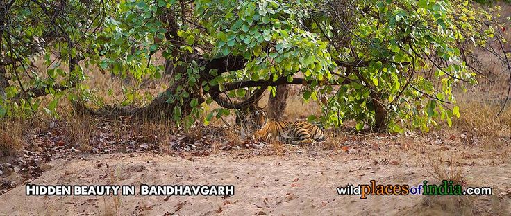 Come and see the hidden beauty of Bandhavgarh with us. http://wildplacesofindia.com/bandhavgarh-national-park.html