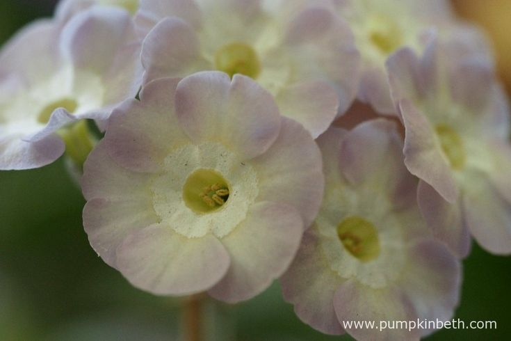A close up of the delicate flowers of Primula auricula 'Sunrise Beauty'.