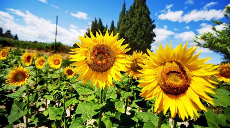 Solrosor – 11 roliga fakta om solrosen | Leva & bo