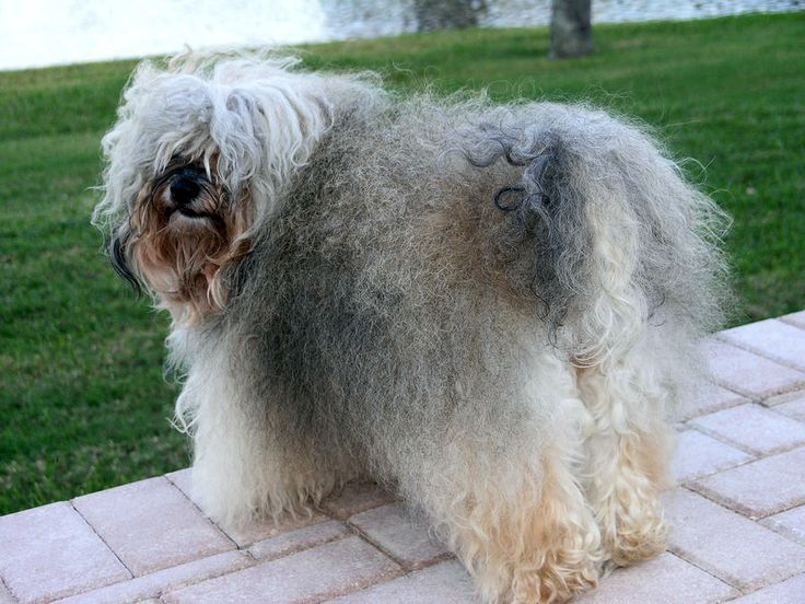 The Havanese includes a spirited character as well as a curious disposition, and is notable for its springy gait, a characteristic that distinguishes the breed from all other folks.