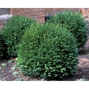 Boxwood bushes, for along the front of house bay window.