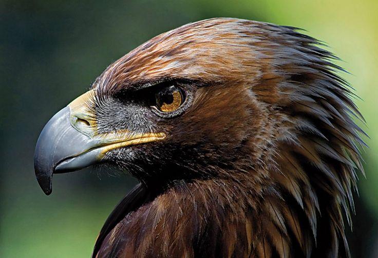 Salvando al águila imperial ibérica, es lo nuevo de nuestro blog. La 5T es un ejemplar joven de águila imperial ibérica que ha cruzado el desierto del Sáhara de arriba abajo en solo dos días. Esta especie (Aquila adalberti) es capaz de recorrer 1.100 kilómetros en dos jornadas sin parar, ni siquiera a cazar.  Puedes acceder al artículo completo desde este enlace: http://www.elbulin.es/blog/salvando-al-aguila-imperial-iberica/  Si te gusta, comparte y recomienda nue