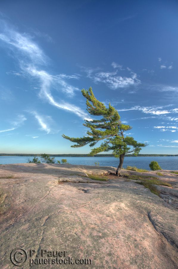 Iconic lonely windswept pine tree at killbear, High Dynamic Range process Big sky, with lazy clouds, water and that great rock of the exposed canadian shield.