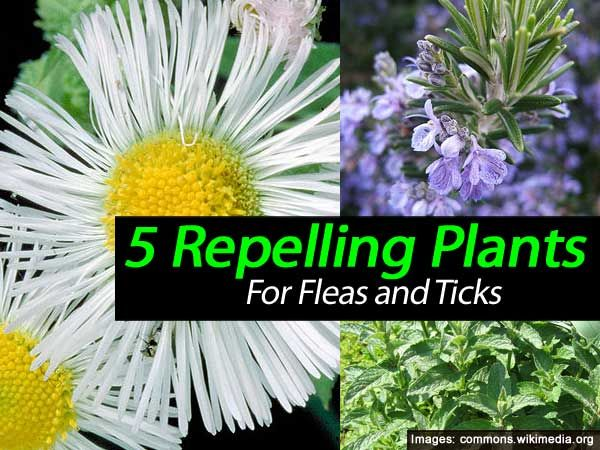 5 Plants That Repel Ticks and Fleas    http://homeguides.sfgate.com/plants-repel-ticks-fleas-55250.html
