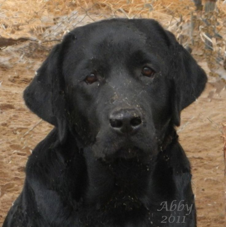 English Black Labrador