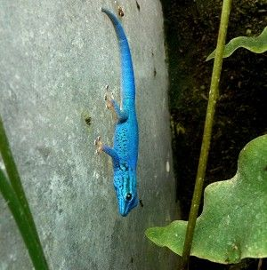 Gecko- Electric Blue Lygodactylus williamsi