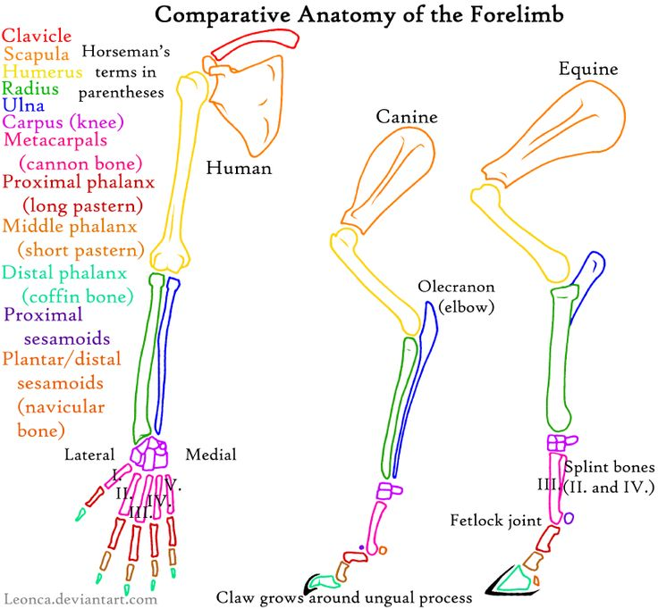 65 best Anatomy_Dog images on Pinterest | Anatomy, Animaux and Dogs