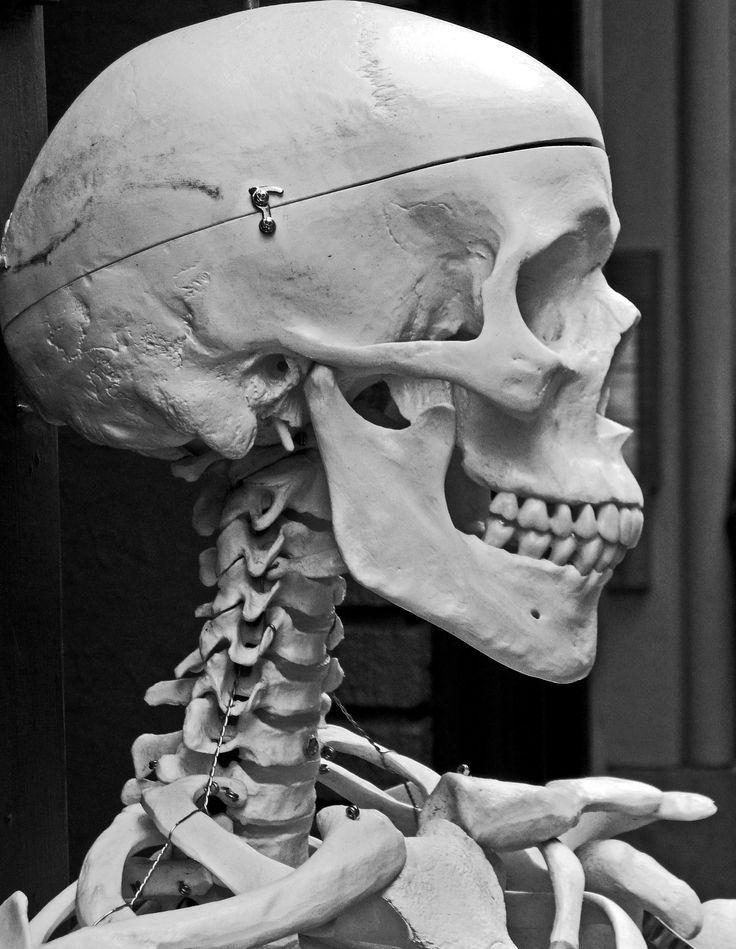 Anatomy Reference - Skeleton (FD)