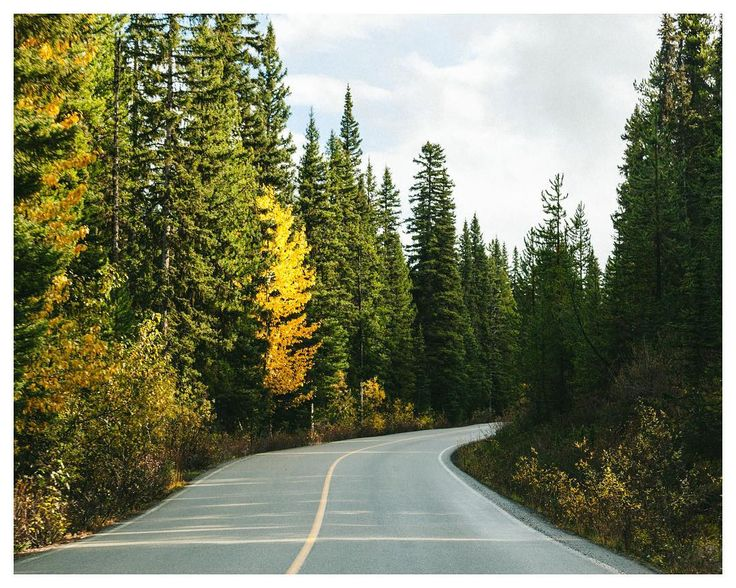 Yellow Tree on the way to Jasper National Park in Alberta  A short beam of light appeared on that rainy day. Autumn 2016