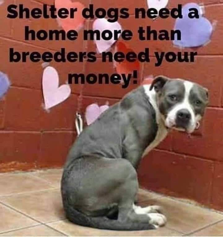 Breeders Overbred And Worthless Dogs Shelter Dogs Pitbull
