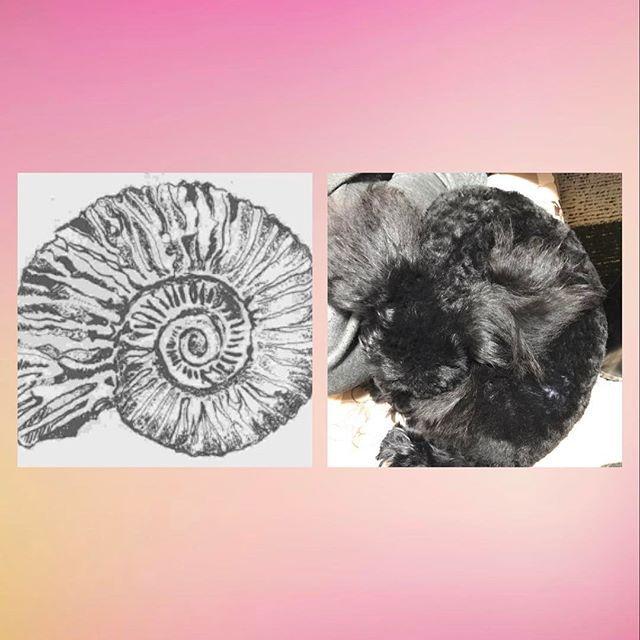 アンモナイトならぬ ワンモナイト( ^ω^ )★笑  #toypoodle#トイプードル#といぷーどる#トイプードルブラック#といぷーどる黒#ぷーどる#ぷーどる黒#愛犬 #トイプードル女の子#pet#犬と生活#可愛い#トイプードル多頭飼い#ドッグスタグラム#dogstagram#黒い犬#黒い犬が好き#トイプードルの姿をした娘#親バカ#アンモナイト#ワンモナイト