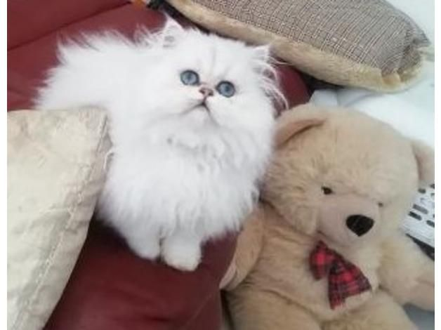 Persian Cats For Sale F1b Jacksonville Fl Persian Cat Cats For Sale Persian Cats For Sale