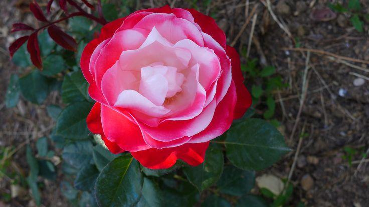 """Rose """"Double Delight """" in Hotel Villa le Barone's garden , in Chianti"""