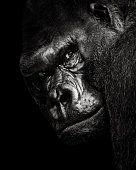 A 3/4 Portrait of a Western Lowland Gorilla