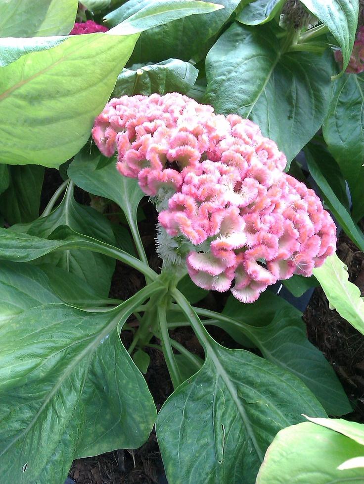 75 best images about celosia on pinterest garden seeds scarlet and ornamental plants. Black Bedroom Furniture Sets. Home Design Ideas