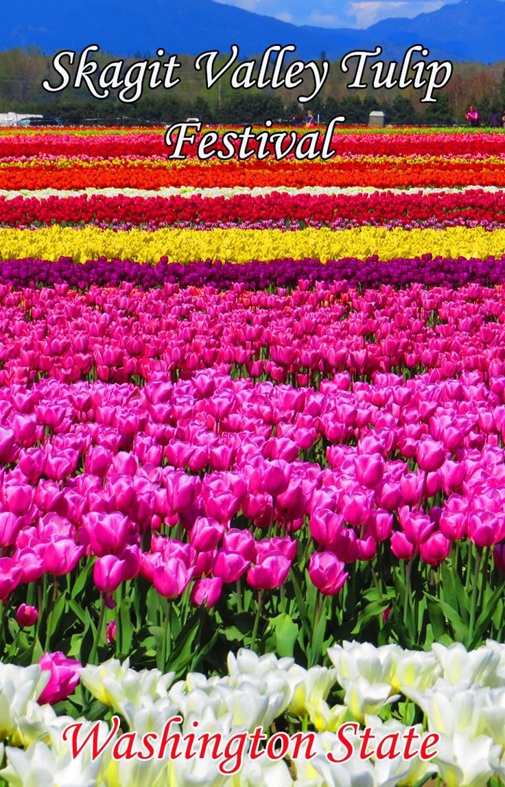 Tips for visiting the popular Skagit Valley Tulip Festival in Washington state. It happens once a year in April so visitors can see millions of tulips and other beautiful flowers. Read our guide here! http://mytanfeet.com/pacific-northwest/skagit-valley-tulip-festival-washington/