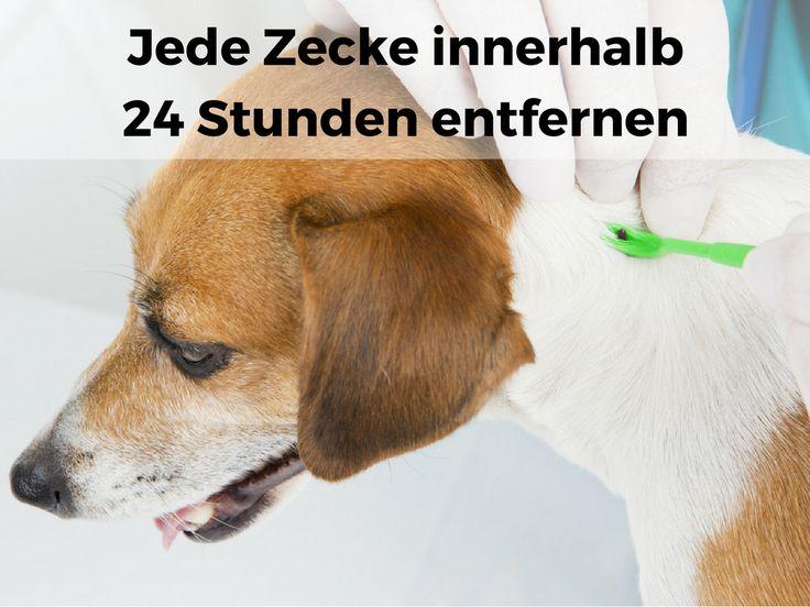 Entfernen Sie jede #Zecke innerhalb von 24 Stunden, um #Borrelioserisiko beim #Hund zu senken #Borreliose