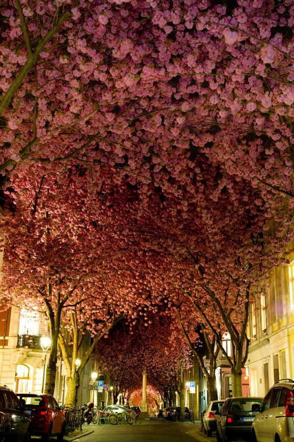 Une des plus belles rues de Bonn lorsque qu'au printemps, les fleurs roses des cerisiers recouvrent entièrement la rue de leur fraicheur printanière.