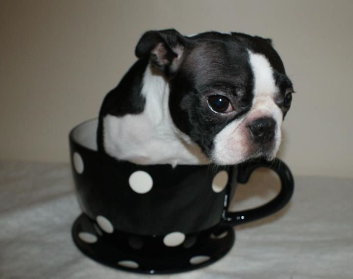 Just a Boston in a tea cup.