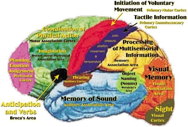 human brain and it's different areas of function
