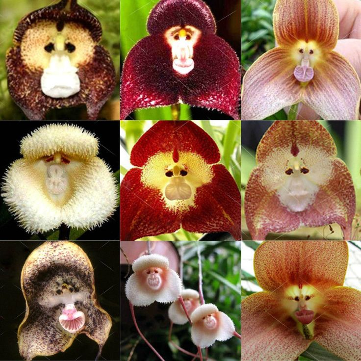 20pcs RARE Monkey Face Orchid Seeds Beautiful Plant Home Garden Flower Plants | eBay