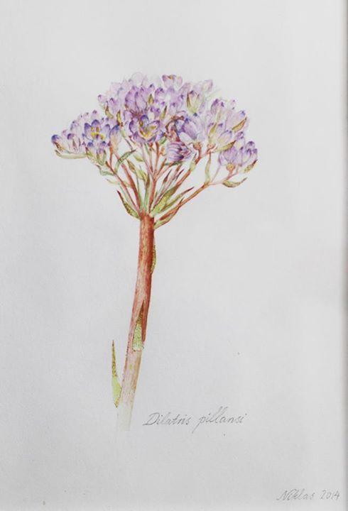 'Dilatris Pillansi' | Watercolour on Paper
