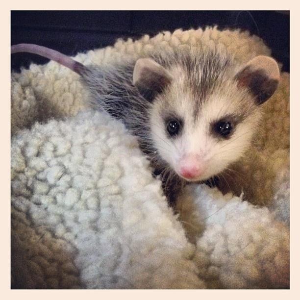A little bit child opossum on a fluffy, fluffy mattress.