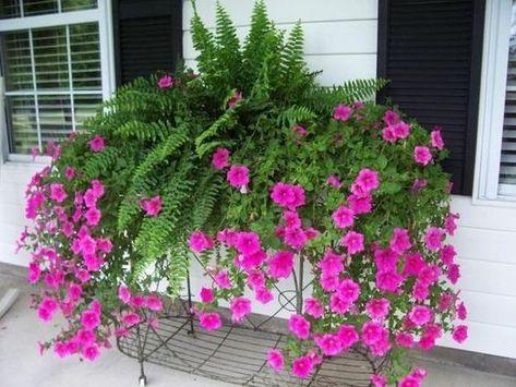 Petunias, Spectacular Flowering Plants for Beautiful Yard Landscaping