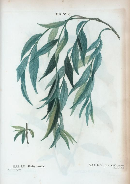 Sauce Llorón T3 27 Salix babylonica par Pierre-Joseph Redouté - Salix babylonica - Wikipedia, la enciclopedia libre