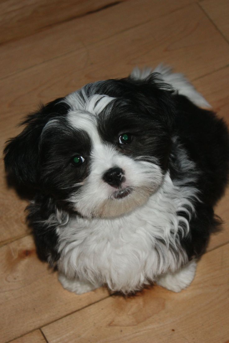 shih tzu mix breeds the 25 best maltese shih tzu ideas on pinterest maltese 8783