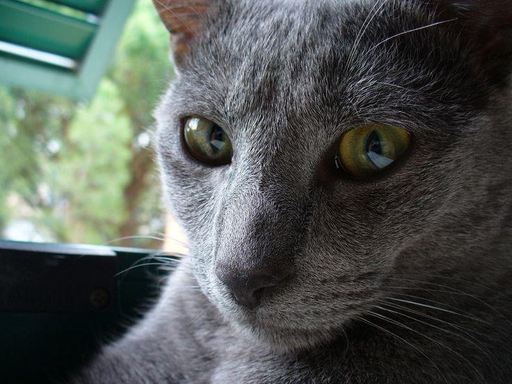 my lovely korat cat