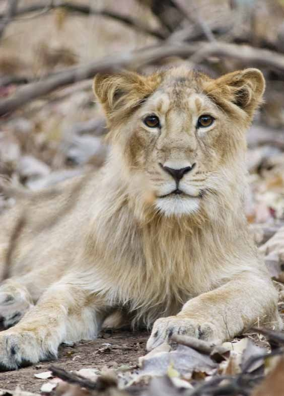 Asiatic Lion (Panthera leo persica) juvenile male