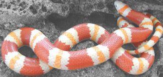 Albino Mexican Milk Snake