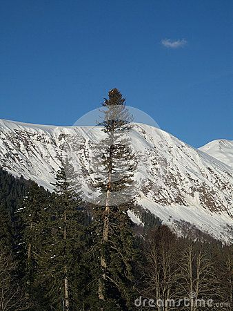 The snowy peaks of the Caucasus mountains and pine forest
