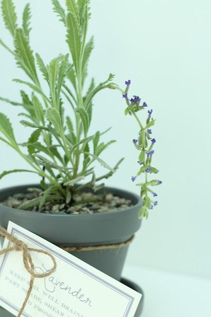 gifts planters and lavender on pinterest. Black Bedroom Furniture Sets. Home Design Ideas
