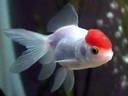 Tropical Paradise Fish: Red Cap Oranda Goldfish - Carassius auratus http://www.tropicalparadisefish.com/2011/05/red-cap-oranda-goldfish.html