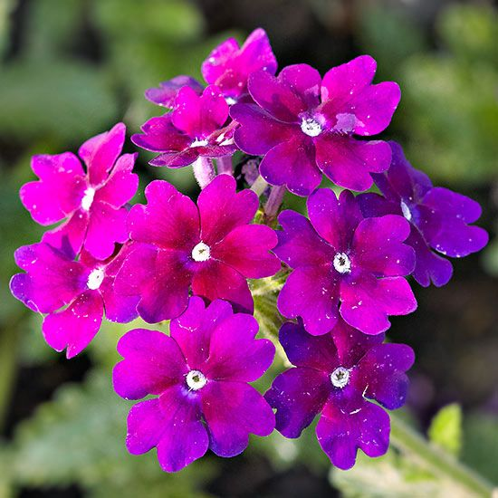 best  purple flowering plants ideas on   purple, Beautiful flower