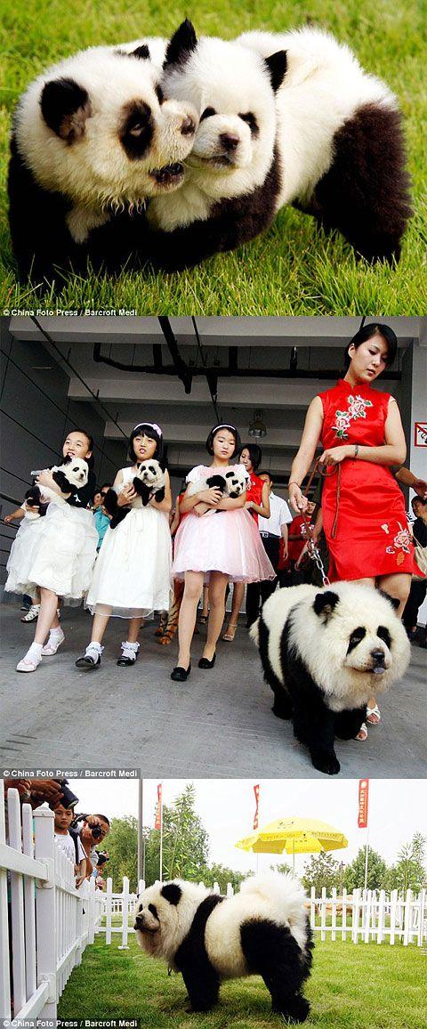Panda dogs--SOO CONFUSED!!!