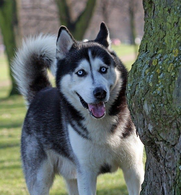 Five Key Principles Of Training A Husky Husky Training Dog