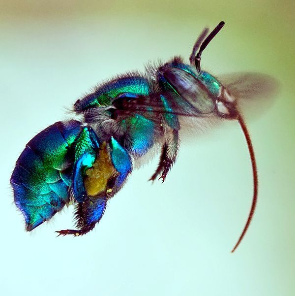 Orchid bee. #insect #color